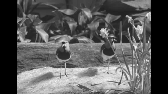 stockvideo's en b-roll-footage met man looks at posted sign with information on different birds / vs of different birds some exotic in openair habitat on rocks in trees near water - omsloten ruimte