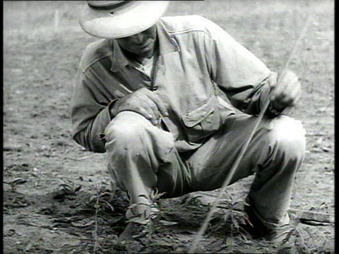 1939 WS Man measuring the height of plants in field against a yardstick, then rising and walking away / Savannah, Georgia, USA