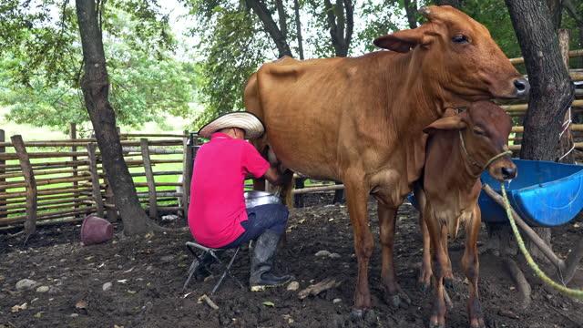 vídeos de stock e filmes b-roll de man milking a cow in the stable - criação