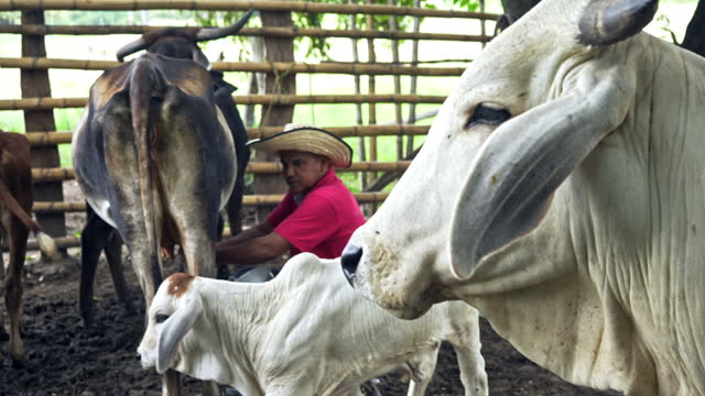 man milking a cow in the stable - colombian ethnicity stock videos & royalty-free footage