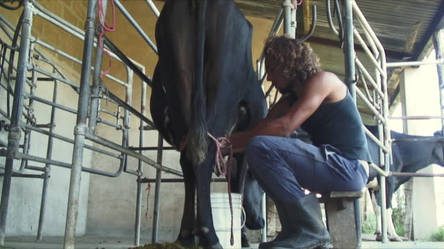 ms man milking cow / colonia suiza, uruguay - ウルグアイ点の映像素材/bロール
