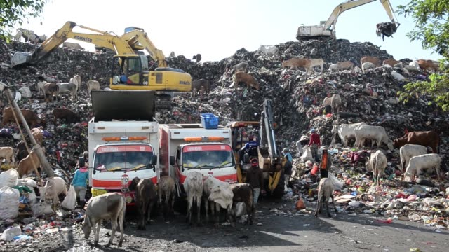 vidéos et rushes de man operates an excavator as waste pickers sift through garbage and cows scavange in the trash at a landfill site in makassar, south sulawesi... - se nourrir des restes