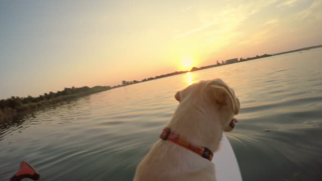 man paddleboarding with his dog at sunset - standing water stock videos and b-roll footage