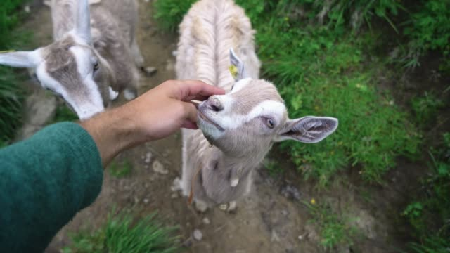 man petting goats   on pasture in swiss alps - grazing stock videos & royalty-free footage