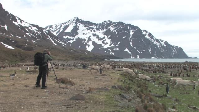 WS, Man photographing king penguins (Aptenodytes patagonicus) and reindeer (Rangifer tarandus) herd, bay and mountains in background, South Georgia Island, Falkland Islands, British overseas territory