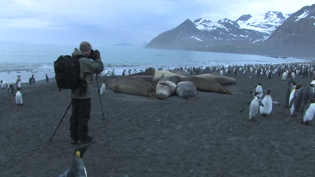 ws, man photographing southern elephant seals (mirounga leonina) and king penguins (aptenodytes patagonicus) on beach, bay and mountains in background, south georgia island, falkland islands, british overseas territory - elefante marino del sud video stock e b–roll