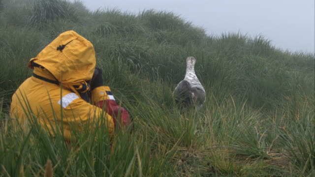 cu, man photographing wandering albatross walking in grass with spread wings, antarctica - spread wings stock videos & royalty-free footage