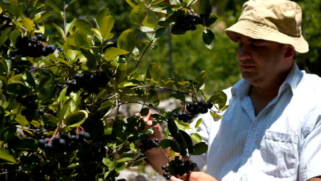 man pick and eat blueberry on farm - blueberry stock videos and b-roll footage