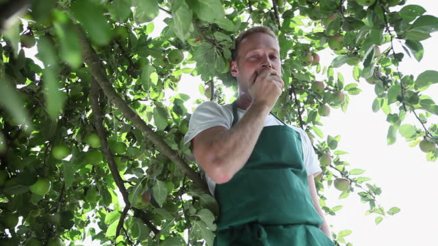 vidéos et rushes de ms man picking apple from tree in organic farm and eating / brodowin, brandenburg, germany - pomme