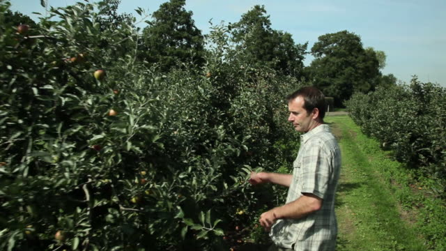 man picking apple in orchard - only mature men stock videos & royalty-free footage