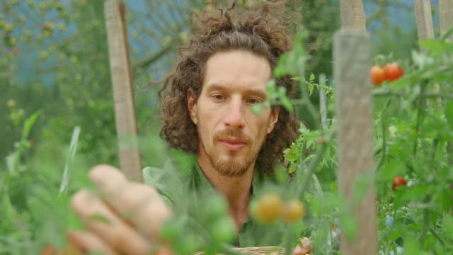 vidéos et rushes de homme ramassant des tomates de cerise et les mettant dans un panier - panier