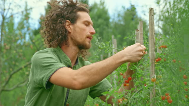 man picking cherry tomatoes in his permaculture garden - gardening stock videos & royalty-free footage