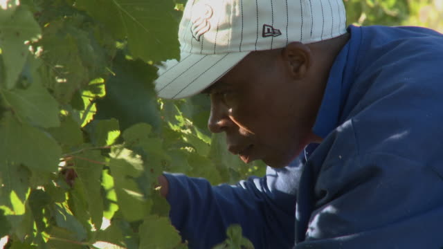 cu man picking grapes in vineyard, franschhoek, western cape, south africa - franschhoek stock videos and b-roll footage