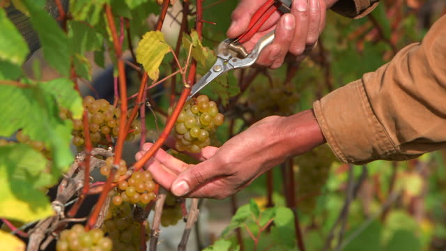 cu of man picking grapes in vinyard - lavoratore emigrante video stock e b–roll