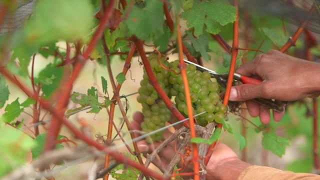 cu of man picking grapes in vinyard - lavoratore emigrante video stock e b–roll