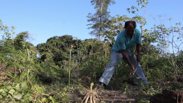 Man picking manioc  - subsistence agriculture - WIDE OPEN