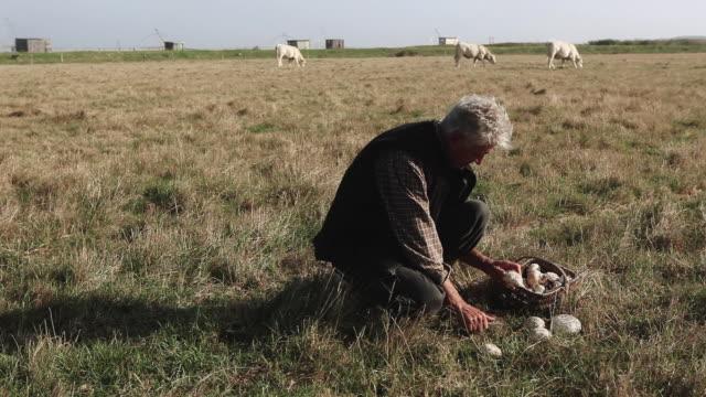 vidéos et rushes de ms man picking mushrooms in field / corsept, loire-atlantique, france - cueillir