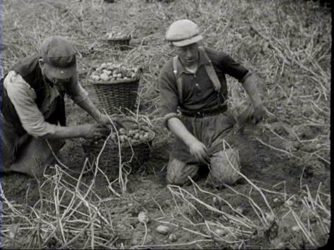 1940 b/w man picking potatoes in field, dumping basket of potatoes onto pile / netherlands - 1940 bildbanksvideor och videomaterial från bakom kulisserna