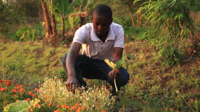 vídeos de stock e filmes b-roll de man picking tea leaves on rural african farm - malávi