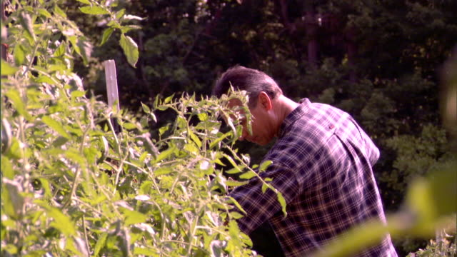 man picking tomatoes in garden - see other clips from this shoot 1277 stock videos and b-roll footage