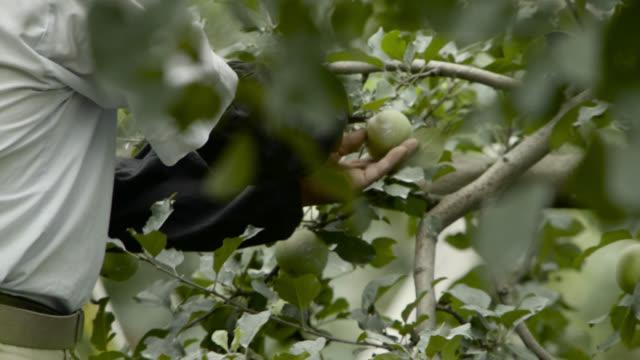 man picks apple from tree, japan. - shears stock videos & royalty-free footage