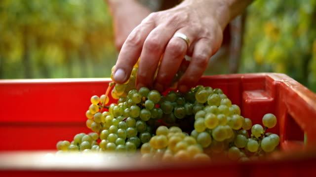 Mann, die Trauben in einem roten Container platzieren