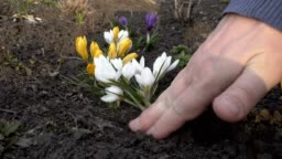 Man plants flowers in the spring on the city flower bed on a Sunny day. White, yellow and purple crocuses. Close up. 4K. 25 fps.