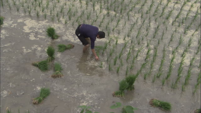 man plants rice in paddy field, qinling, china - rice paddy stock videos and b-roll footage