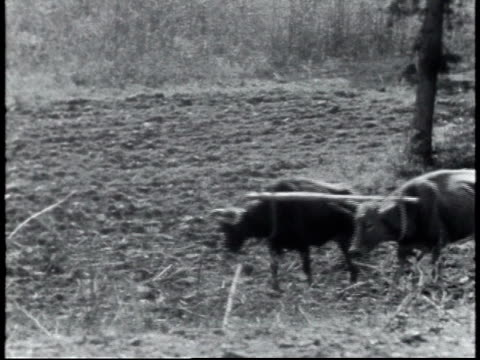 1940 ws man plowing field with oxen / united states - 牛車点の映像素材/bロール