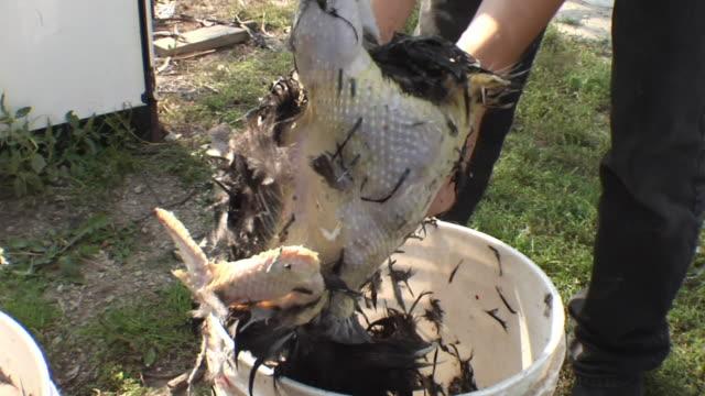 CU, Man plucking slaughtered chicken, close-up of hands, Joliet, Illinois, USA