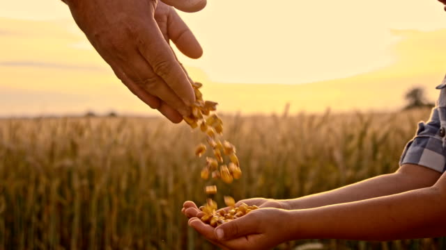 SLO MO Man pouring corn maize into child's hand