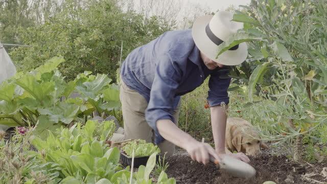 vídeos y material grabado en eventos de stock de man preparing ground for planting seedlings, labrador dog is sleeping in background. - huerto