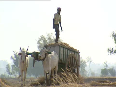 man pressing down load of hay on top of cart india - 牛車点の映像素材/bロール