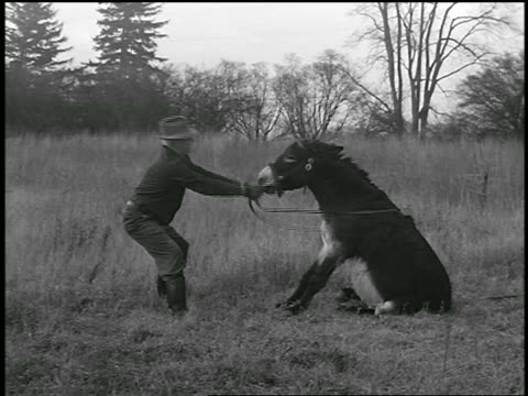 b/w 1950 man pulling stubborn mule seated in field / industrial - mule stock videos & royalty-free footage