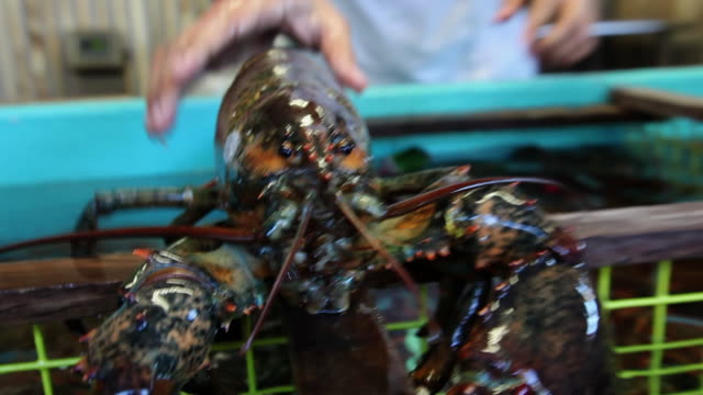 a man pulls a lobster from a tank. available in hd. - lobster stock videos & royalty-free footage