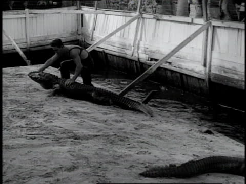 1930 ws man pulls alligator out of moat and wrestles it in arena setting of a show / miami, florida - moat stock videos & royalty-free footage