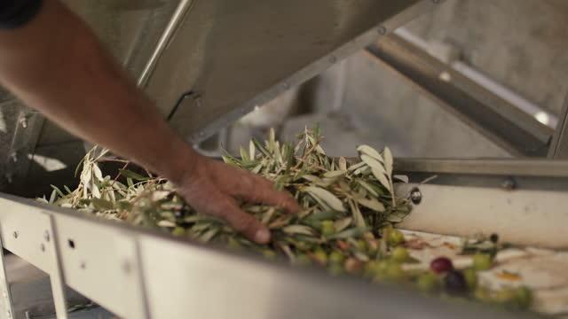 vídeos de stock, filmes e b-roll de man pushing olive branches back on conveyor belt - ramo parte de uma planta
