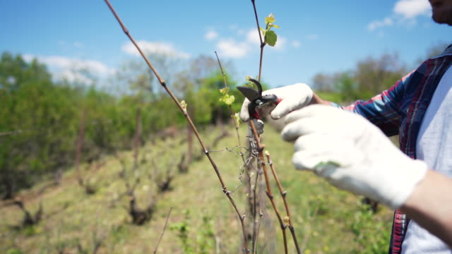 man recovering his vineyard - pruning stock videos & royalty-free footage