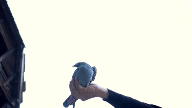 man releasing a pigeon from hand - colomba video stock e b–roll