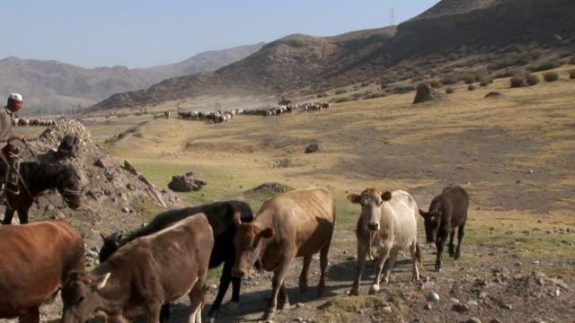 vidéos et rushes de man riding on horse and cows - animaux au travail