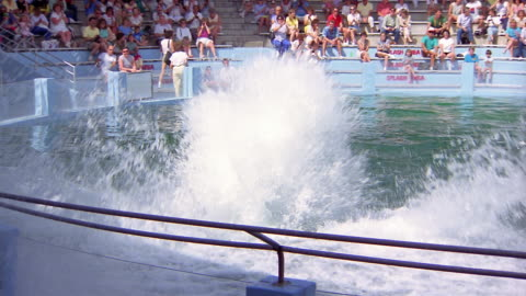 1988 slo mo ws man riding on nose of killer whale rising out of water and touching ball / california, usa - animals in captivity stock videos & royalty-free footage