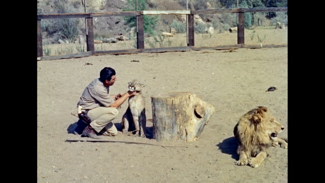 MS Man rubbing lioness neck and smiling / United States