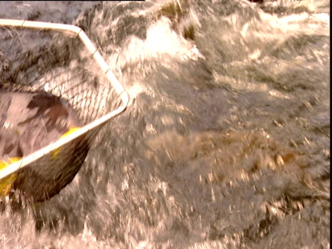 vídeos de stock e filmes b-roll de man scoops up large grey and yellow fish in net at fish farm and then drops it back into water china - rede de pesca comercial