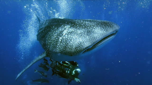 man scuba diving with endangered species whale shark (rhincodon typus) - cetaceo video stock e b–roll