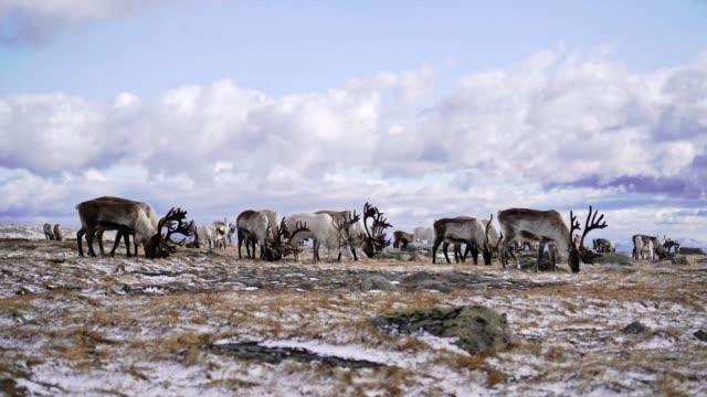 man shepherding reindeers  in mongolia in winter - herding stock videos & royalty-free footage