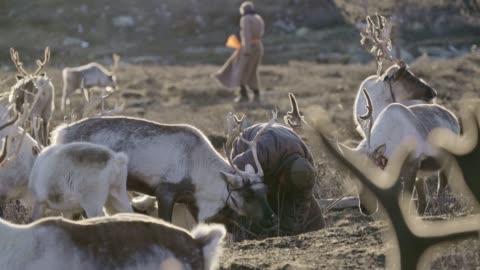 man shepherding reindeers  in mongolia - herding stock videos & royalty-free footage