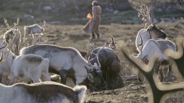man shepherding reindeers  in mongolia - herd stock videos & royalty-free footage