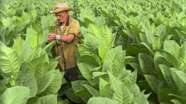 MS Man smoking cigar and examining tobacco leaves in field / San Luis, Pinar del Rio, Cuba