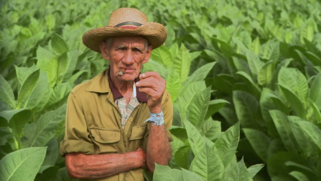 ms pan man smoking in tobacco field / san luis, pinar del rio, cuba - tabakwaren stock-videos und b-roll-filmmaterial