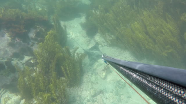 a man snorkelling with harpoon - harpoon stock videos and b-roll footage